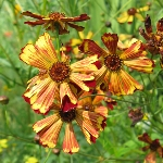 Coreopsis Seashells Red