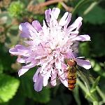 Knautia macedonica, pink