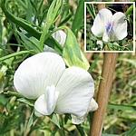 Lathyrus sativus var. albus