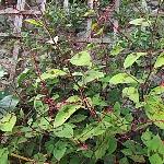 Persicaria filiformis